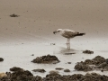 140223-gull-and-shellfish-2-Conwy