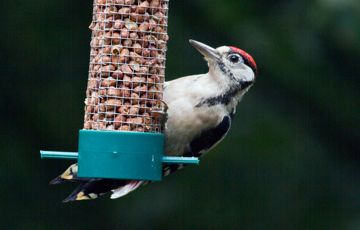 I don't like photos of birds on feeders, but this great spotted woodpecker — was unmissable