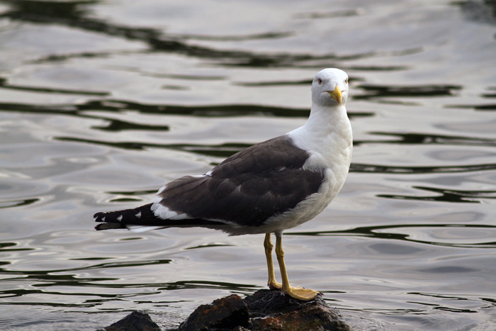 A lesser black backed gull