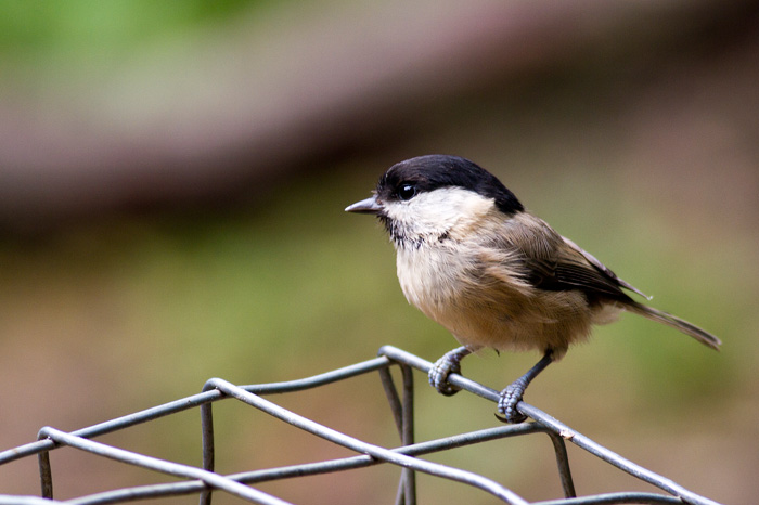 A willow tit, with no visible weakness of intellect