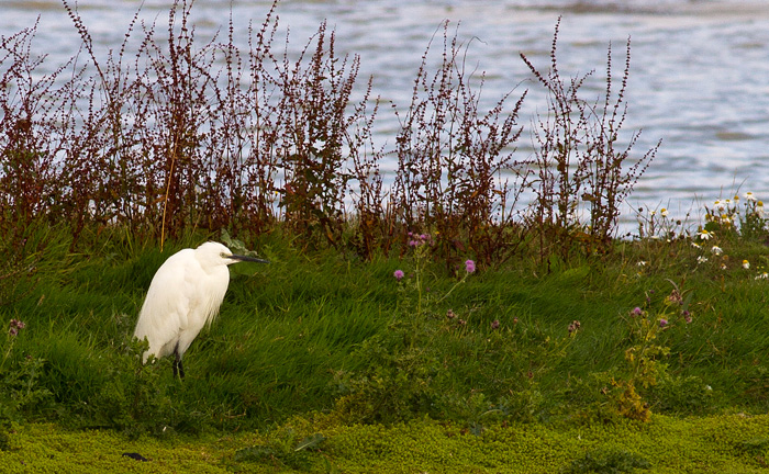 One of several little egrets I saw on Rutland water