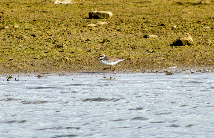 Little ringed plover at waterside