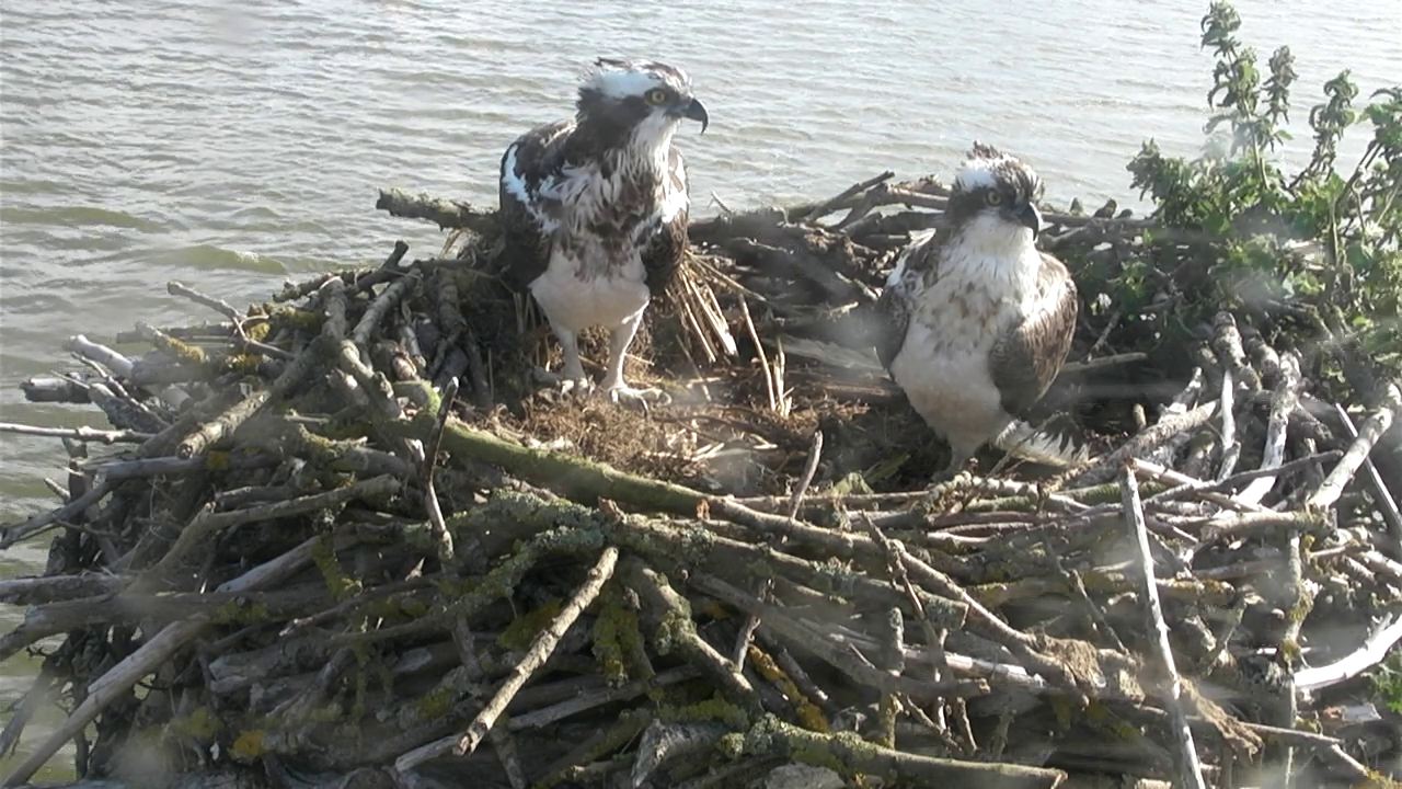 Ospreys on the nest (from http://www.ospreys.org.uk/category/osprey-team-blog)