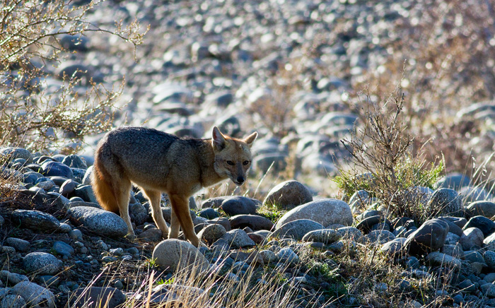 Andean fox #2 – the prowler