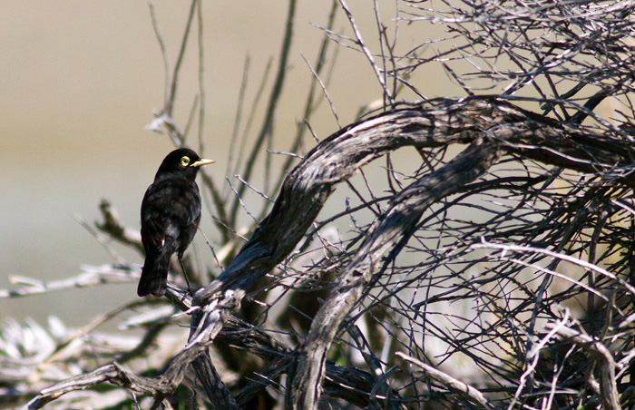Spectacled tyrant – the males were arriving up on the Steppe, but no females yet.
