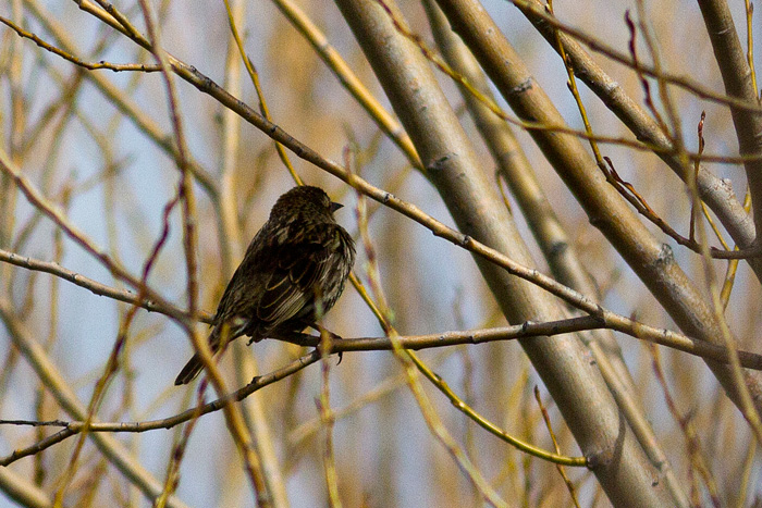 Yellow winged blackbird (female)