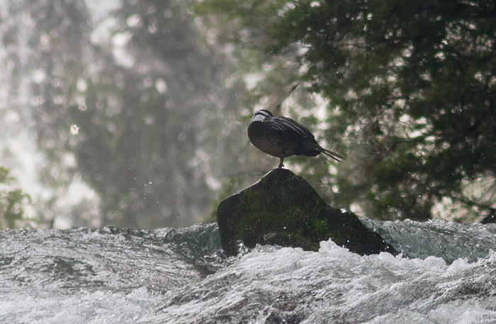 Torrent duck, shot at great distance in adverse circumstances