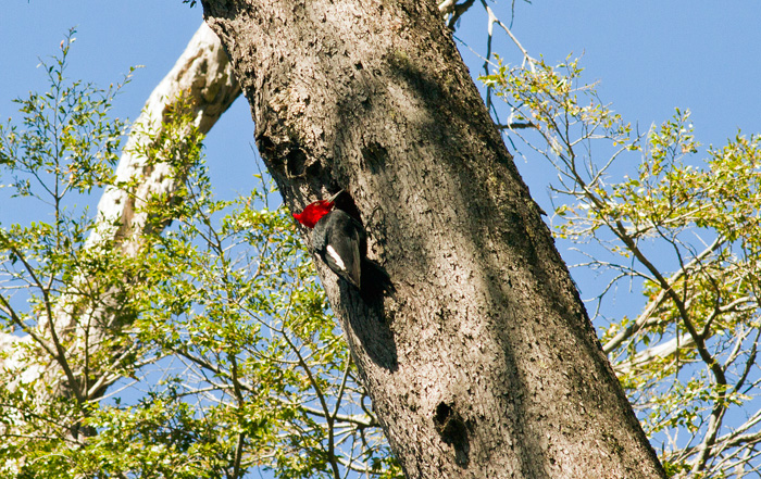 Male Magellanic woodpecker