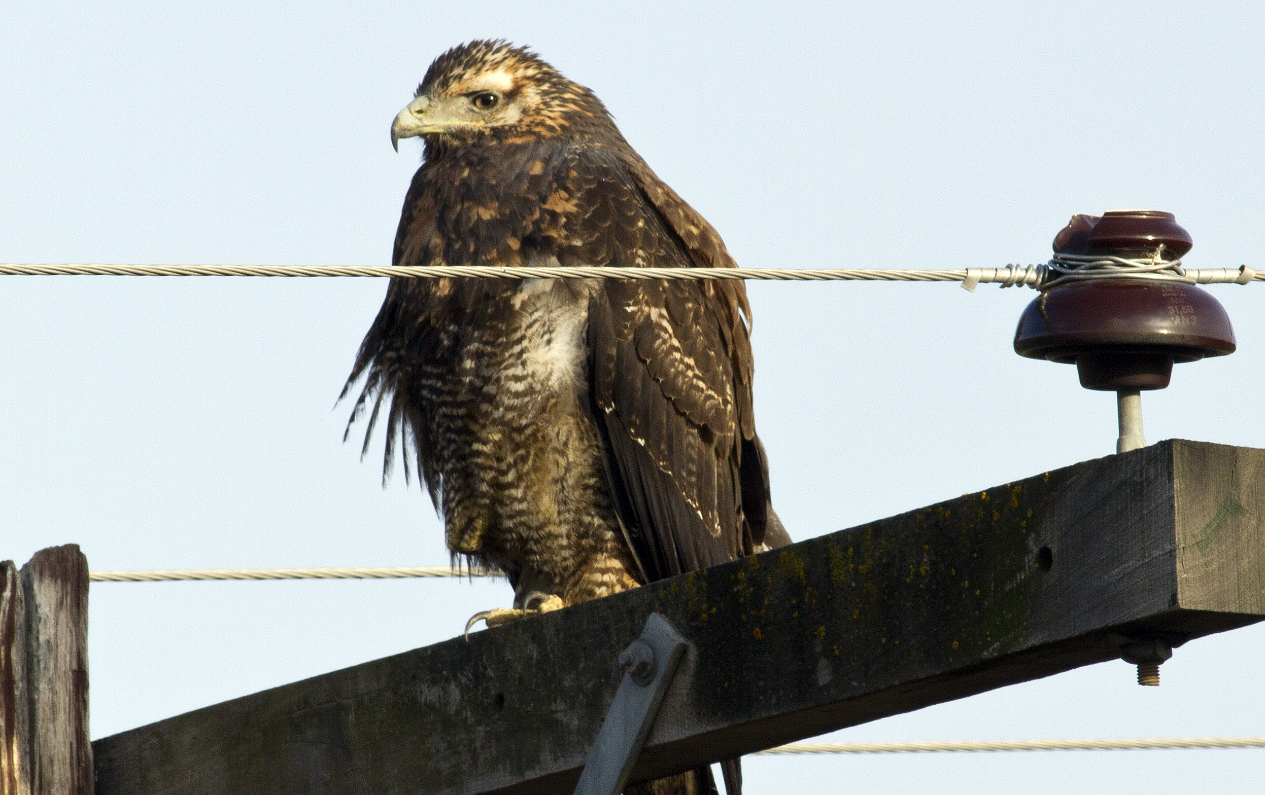 Juvenile Black-chested buzzard eagle