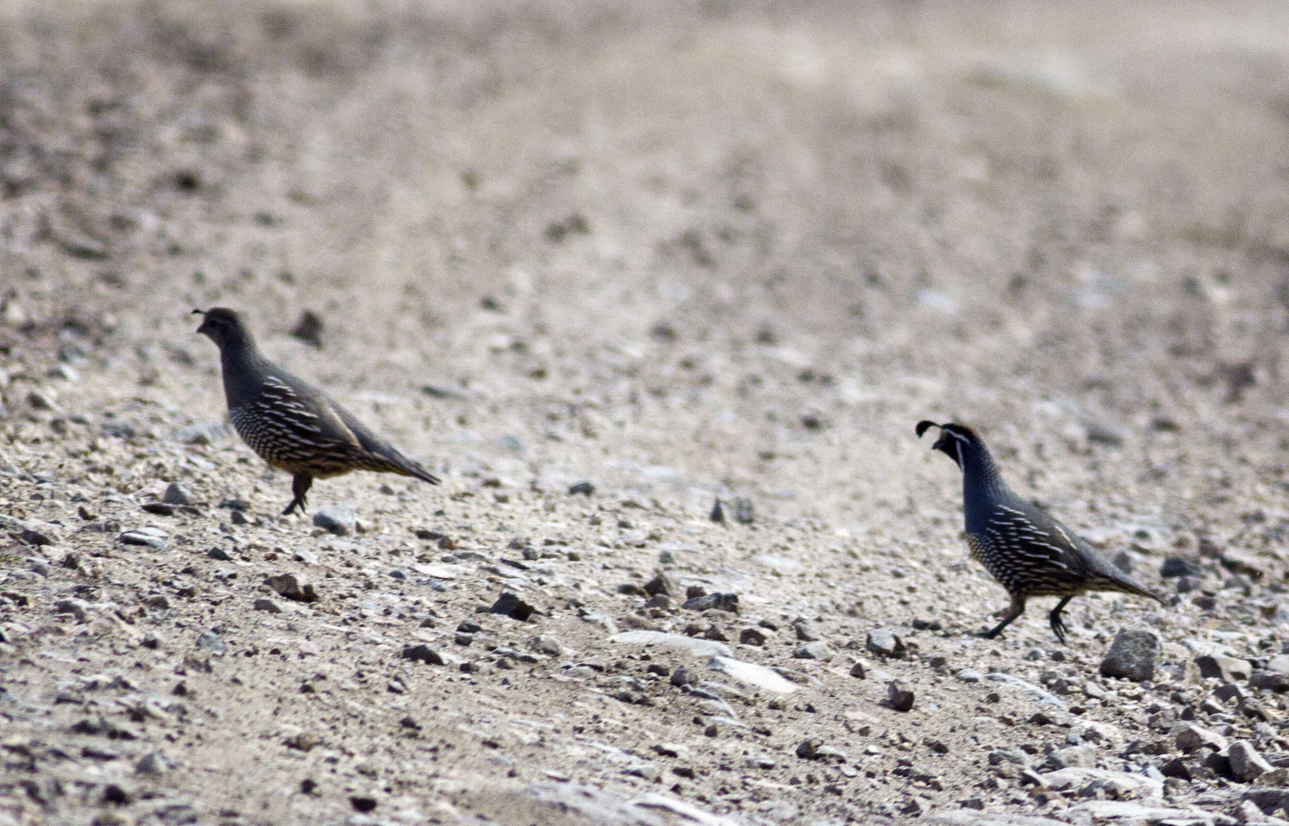 California quail crossing the road