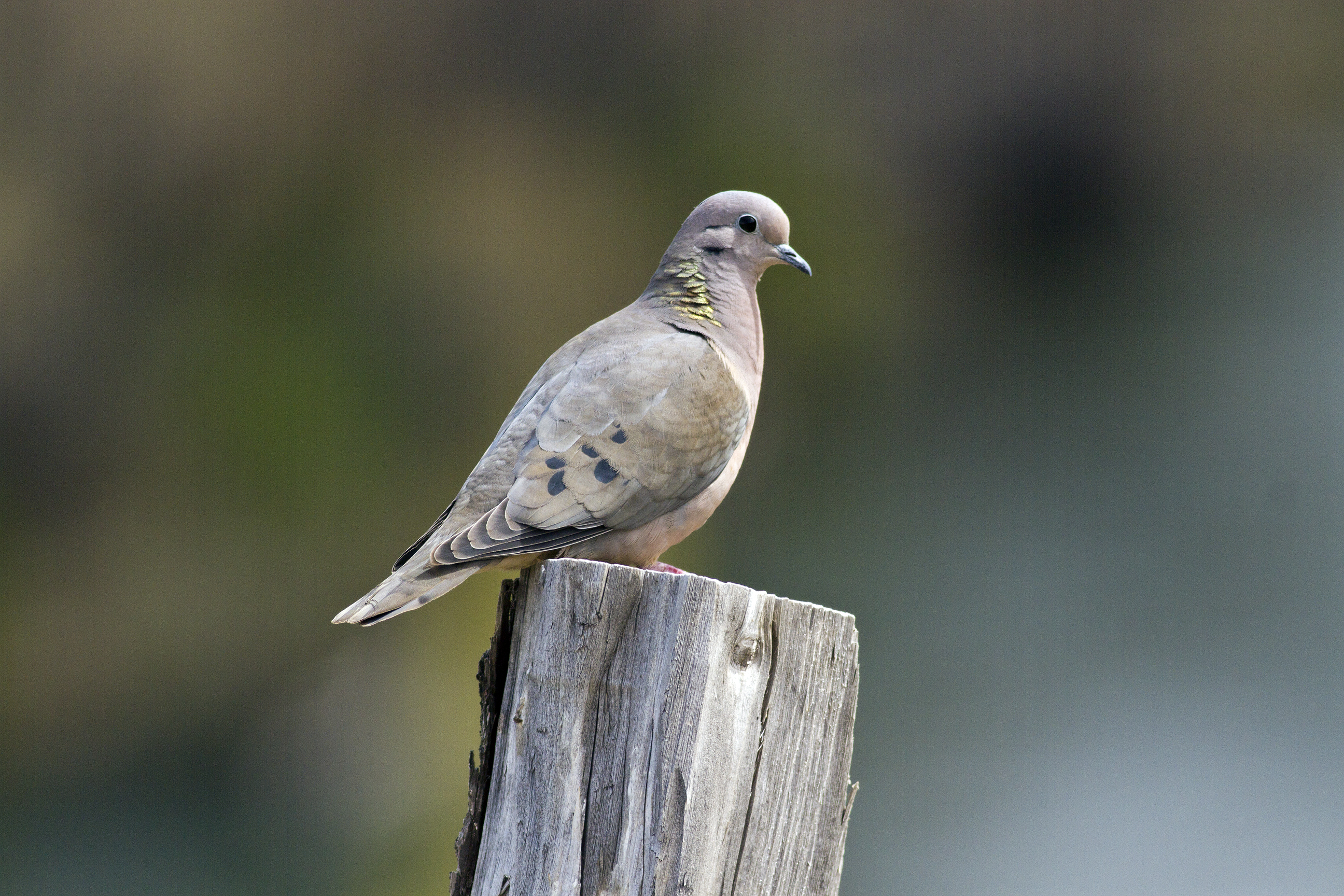 Eared dove, at side of road