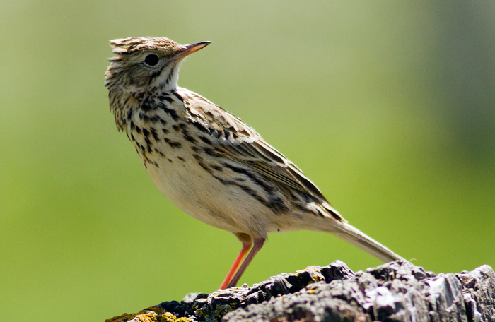 Hellmayr's Pipit, happily posing for a photo