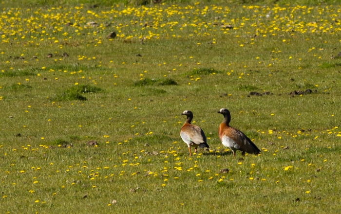 A pair of Ash-headed Geese ...
