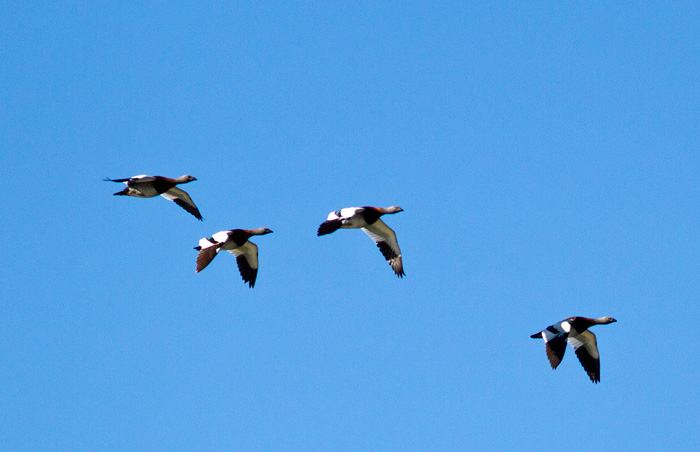 Ashy-headed geese flying over Laguna Rosales