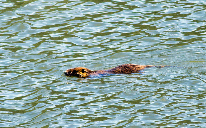 A coypu, swimming in the lagoon.