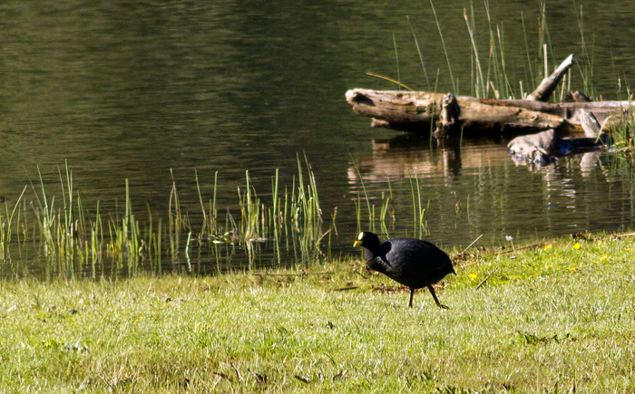 Red-gartered coot, out of the water for once