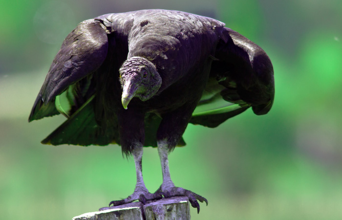 Black vulture, with the atmosphere they always bring ..
