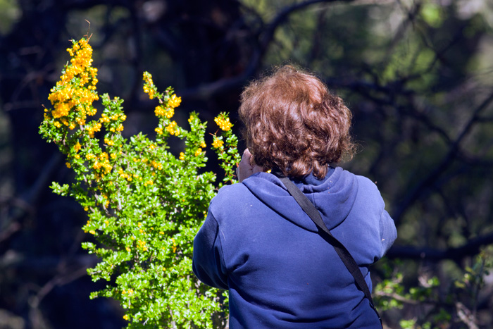 Scarlett the botanist, photographing a yellow-flowering bush