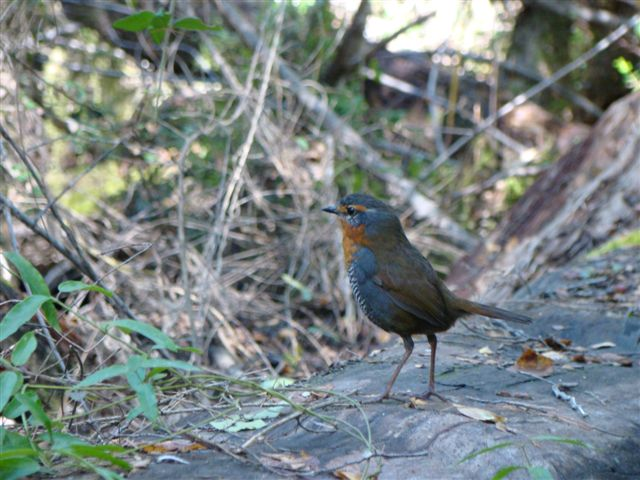 Chucao tapaculo - photo by Lisandro Gonzalez