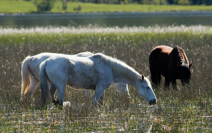 Army horses grazing in the marshland