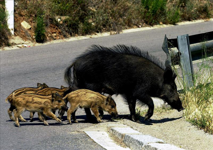 Wild boar (jabali) with young - photo courtesy http://www.fadovisa.es