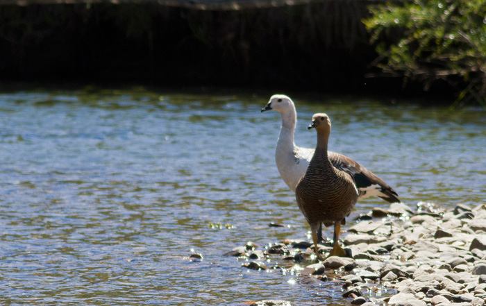A pair of upland geese