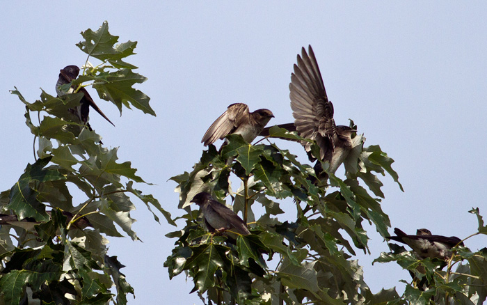 Gray-breasted Martins