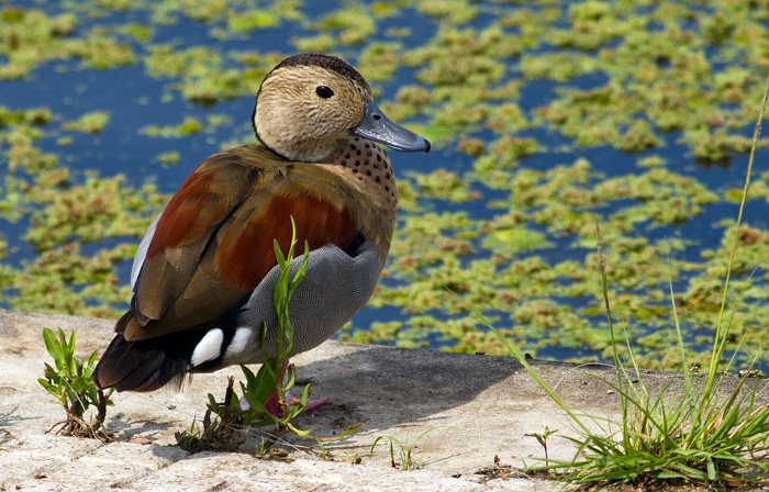 Ringed teal (male)