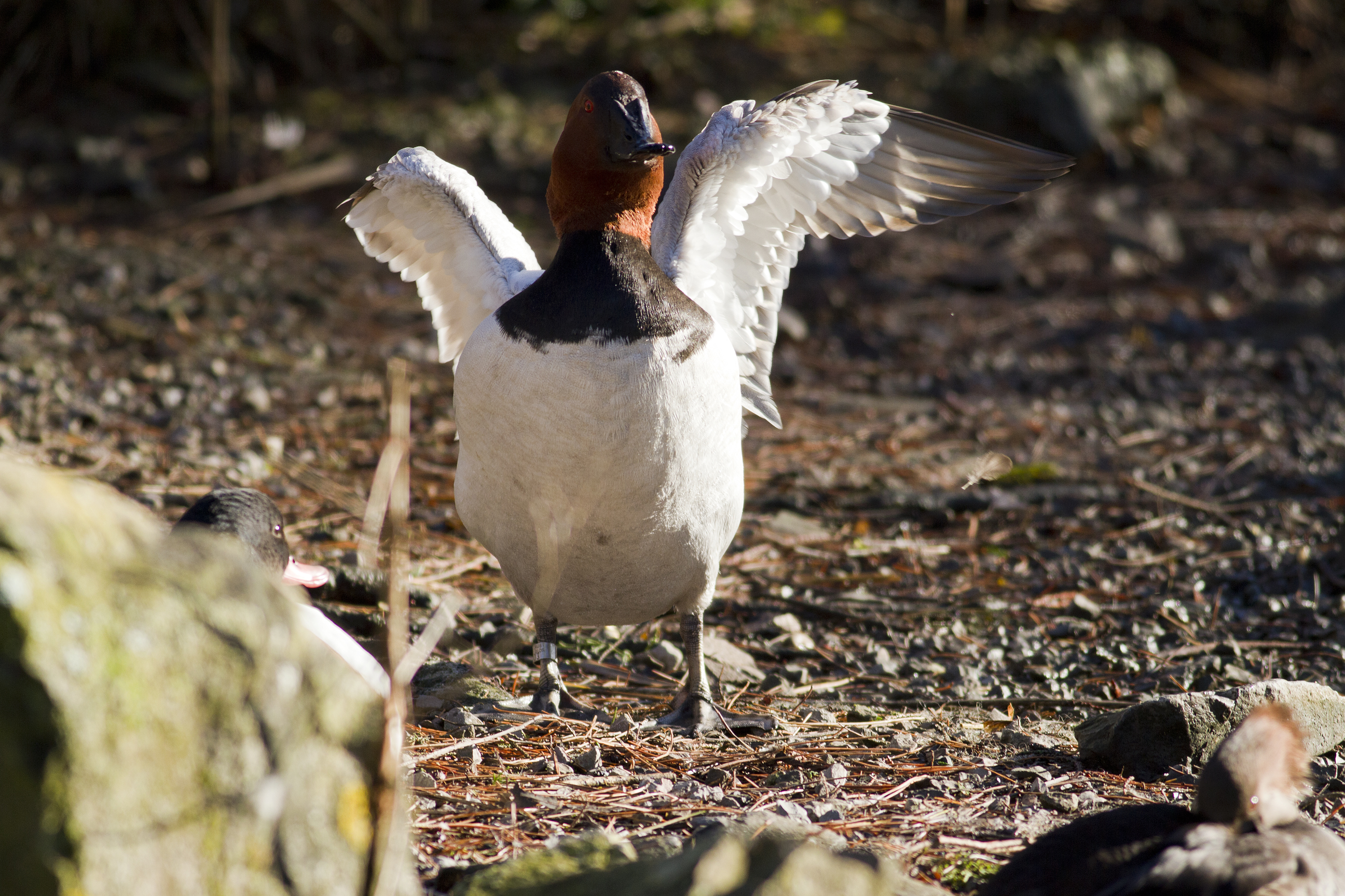 A male canvasback flexing his wings