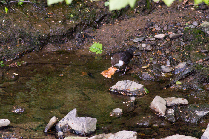 There were a couple of dipper down by the river
