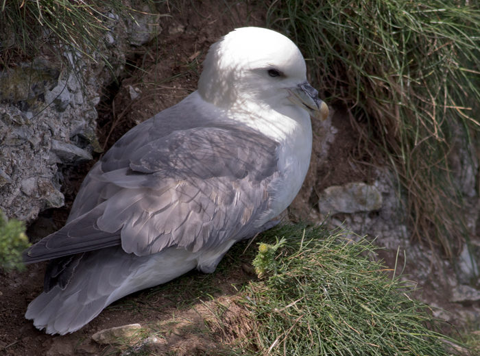 Fulmar, a reasonable shot although s/he kept a little in the shade