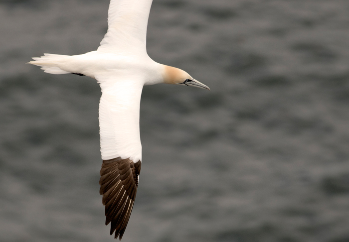 Gannet flying around the cliffs