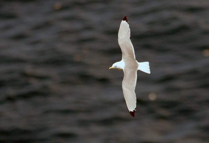 Bempton is a superb place to see kittiwakes