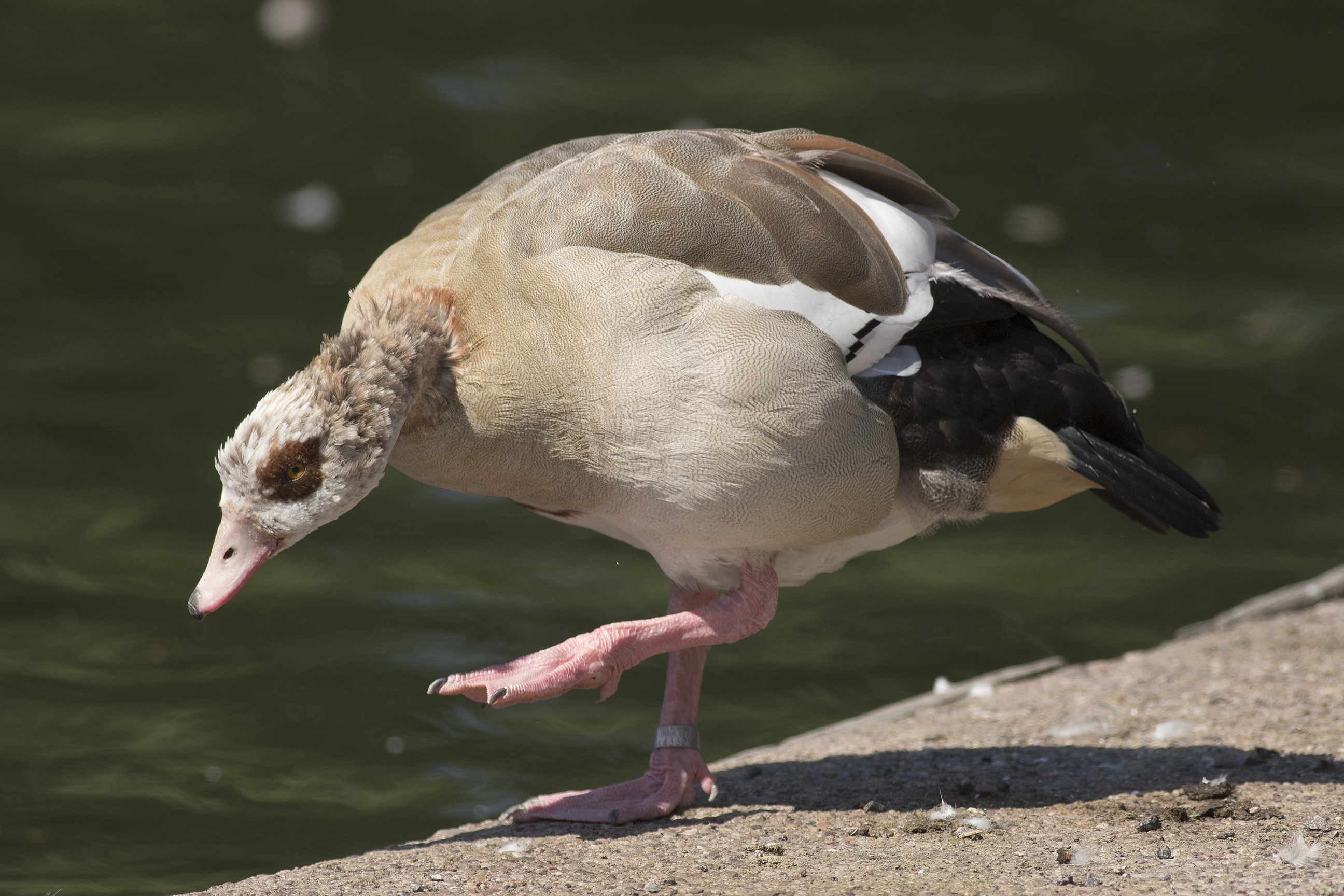 Egyptian goose, one of several here