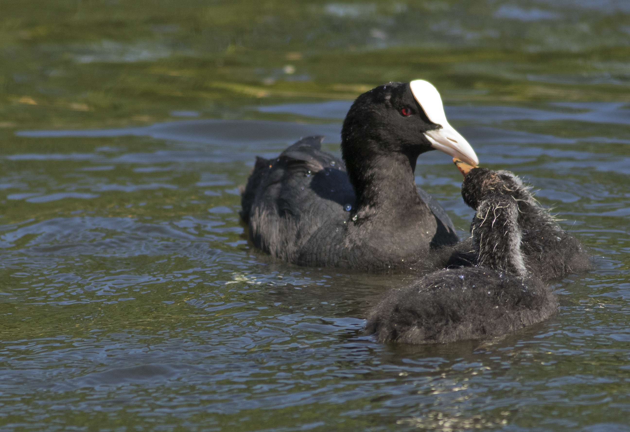 Attentive mother coot with young cootlet