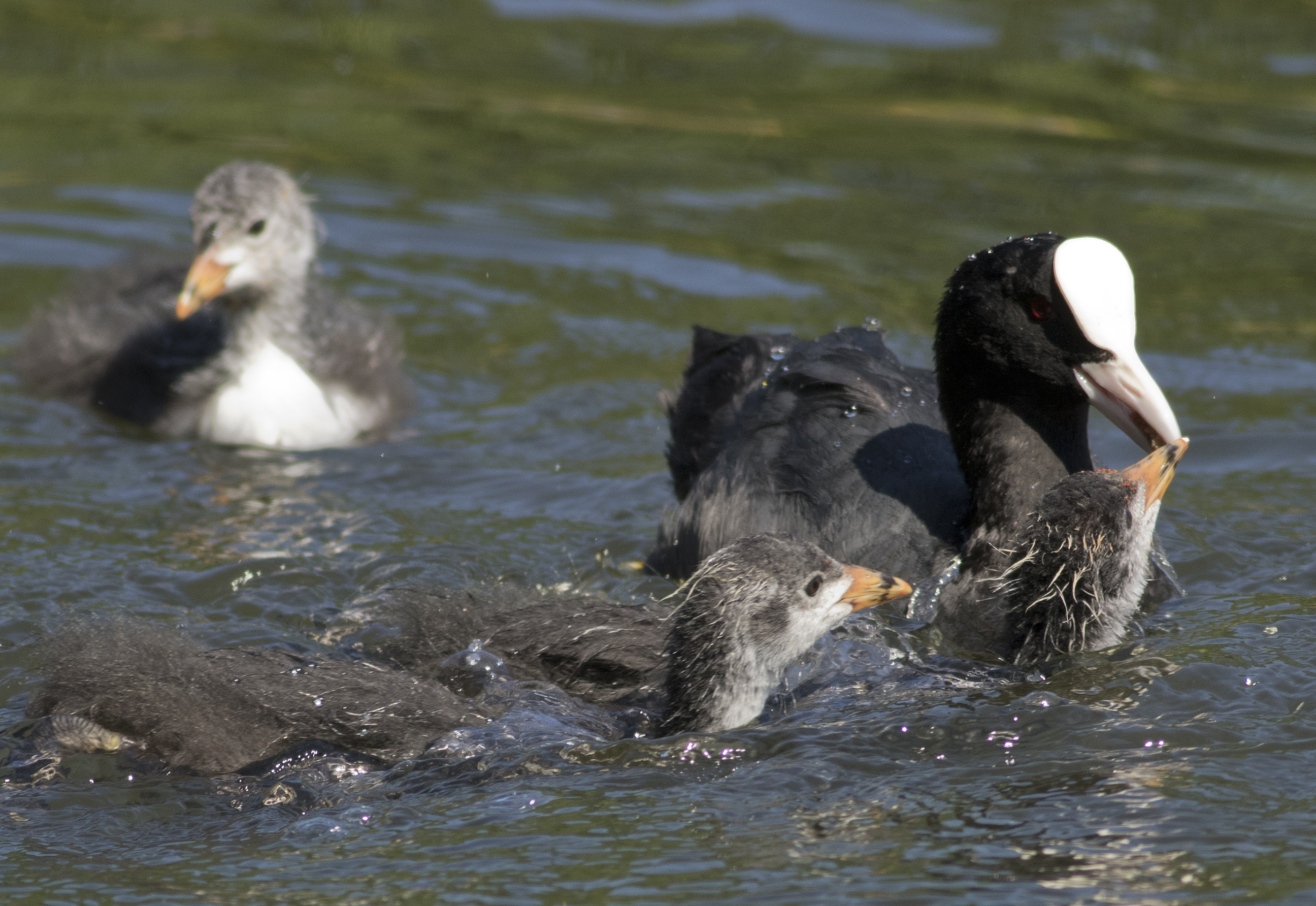 More coots and cootlets