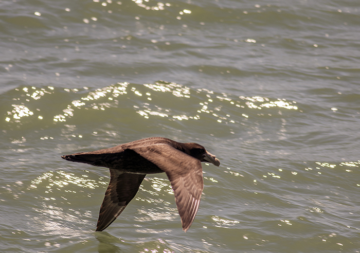 151018 southern giant petrel puerto Mardel
