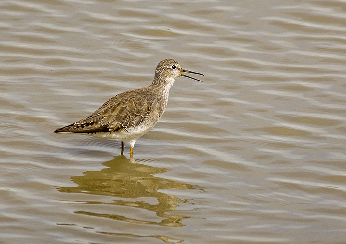 pitotoy chico (Lesser Yellowlegs) Tringa flavipes