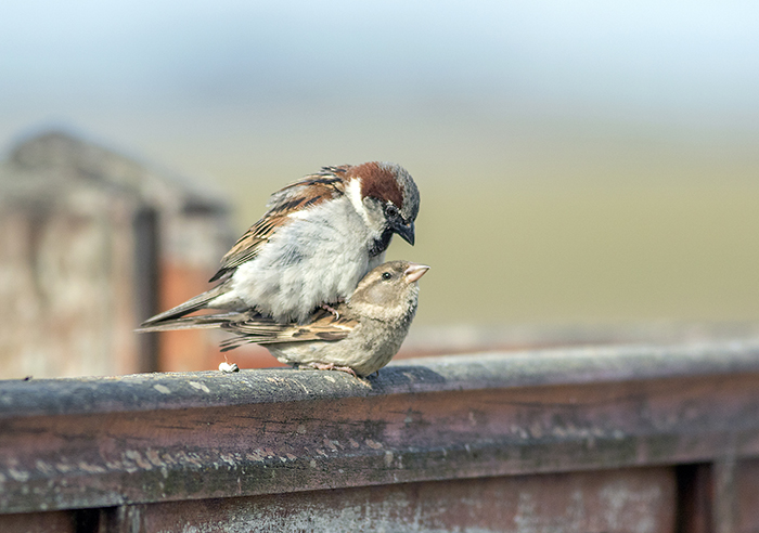 gorrion (house sparrow) Passer domesticus