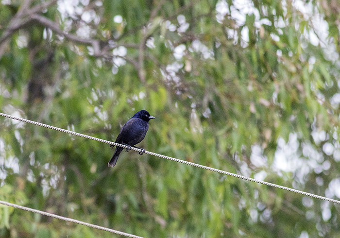 151101 tordo pico corto (screaming cowbird) Ceibas Entre Rios