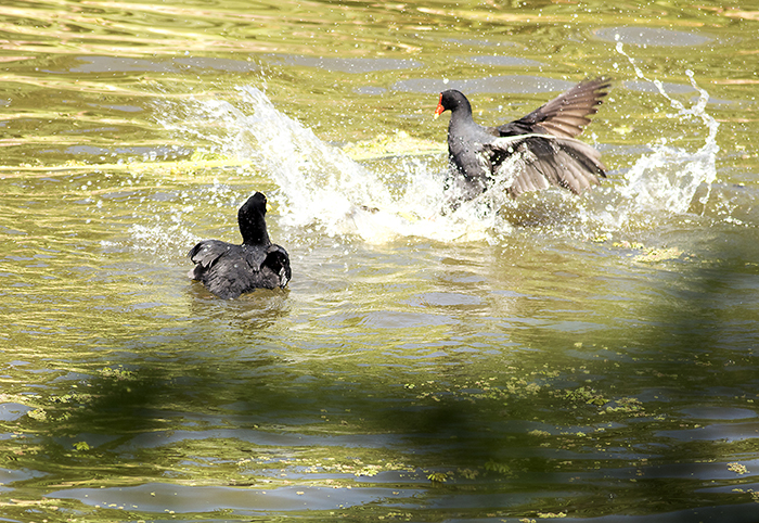 160113 coots and moorhen 2 RECS