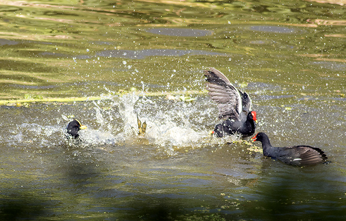 160113 coots and moorhen RECS
