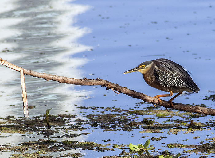 160113 striated heron RECS