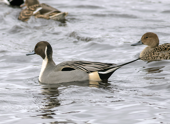 160129 northern pintail Martin Mere