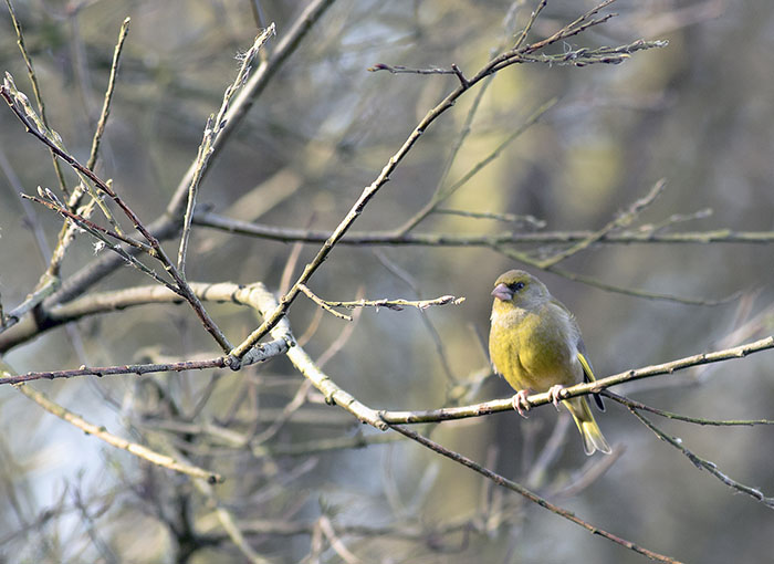 160215 greenfinch Martin Mere