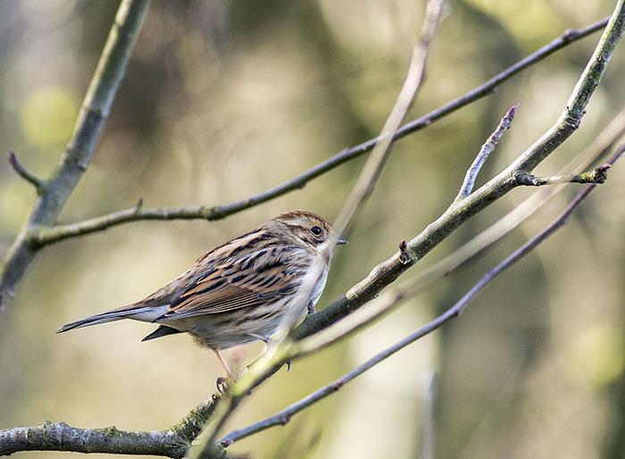 160215 reed bunting female Martin Mere