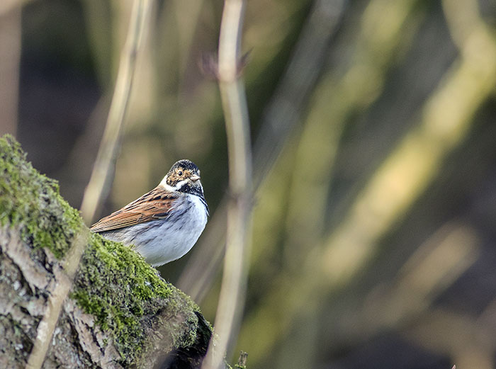 160215 reed bunting male Martin Mere