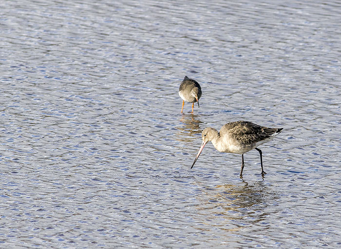 160218 black-tailed godwit RSPB Leighton Moss