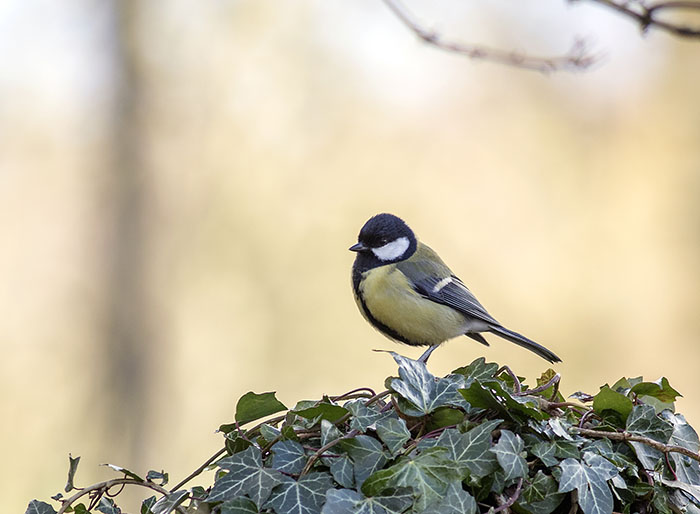 160218 great tit RSPB Leighton Moss