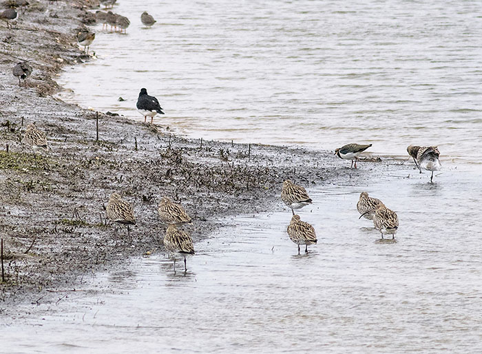 160221 curlew Tophill Low